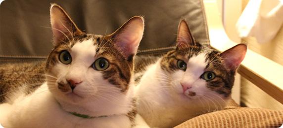 キャットシッターキャットンは猫専門のペットシッターです。お留守番猫さんをご自宅でお世話します。